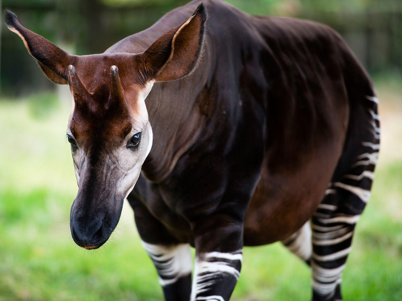 Okapi auf Wiese