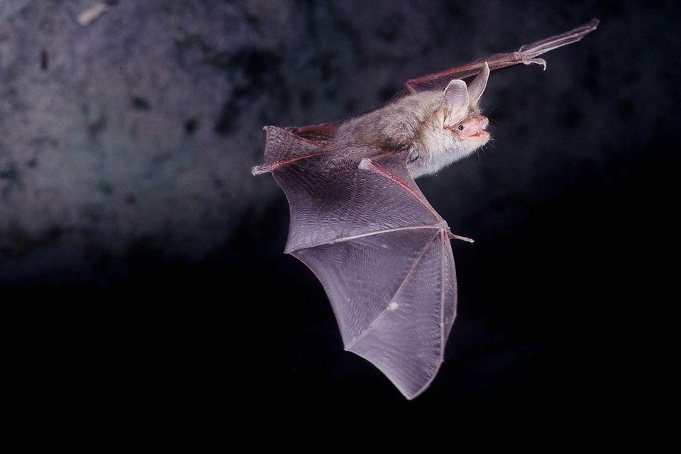 Fledermaus im Flug bei Nacht