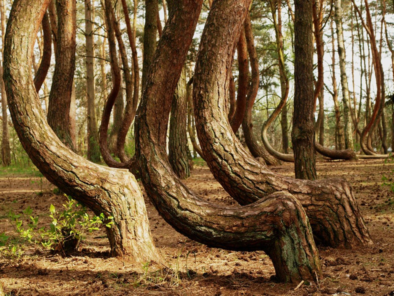 Tanzende Bäume krzywy las Nowe Czarnowo