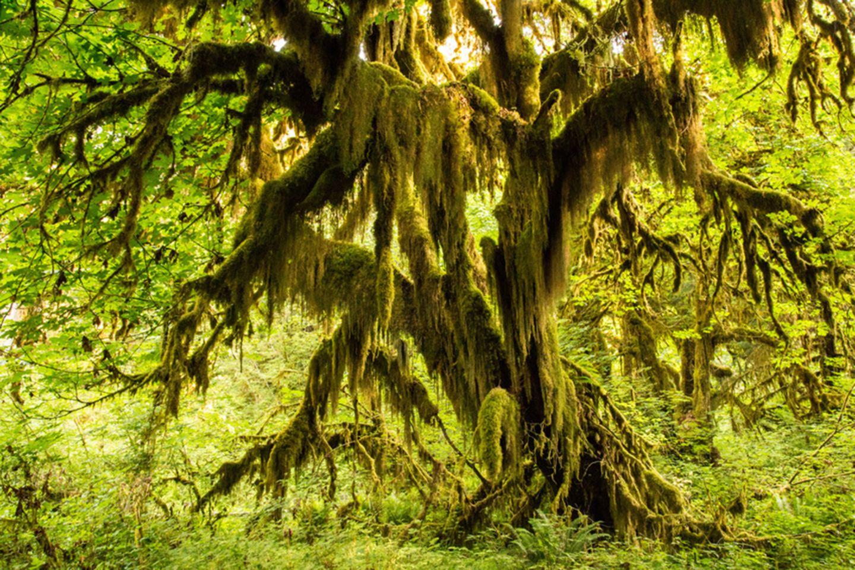 Hoh Rainforest, Washington, USA