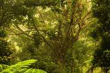 Daintree Forest in Australien