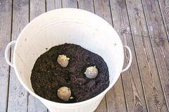 Kartoffeln im Eimer
