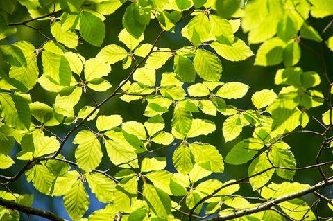 Botanik: Der älteste Baum Europas ist ein Grieche