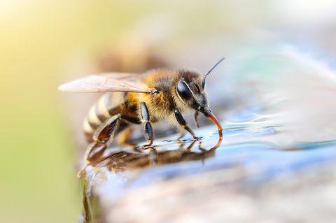 Biene trinkt Wasser