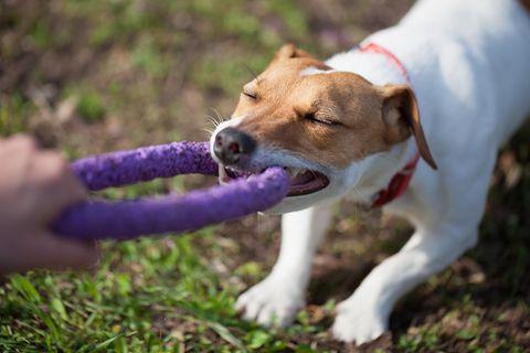 Hund zerrt am Spielzeug