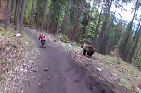 Bär jagt Radfahrer