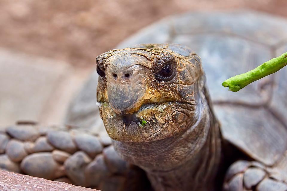 Schildkröte mit Fressen