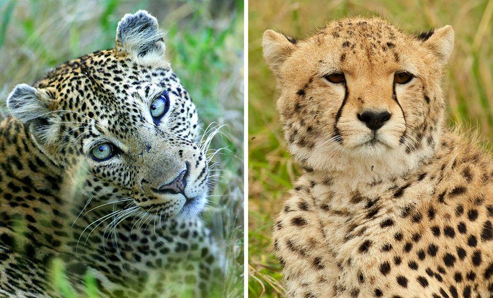 Gepard und Leopard