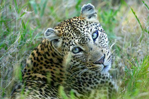 Leopard schaut in die Kamera