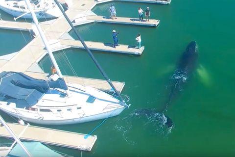 Drohnenaufnahmen von der US-Westküste: Buckelwal verirrt sich im Yachthafen - und entgeht knapp den Schiffsschrauben