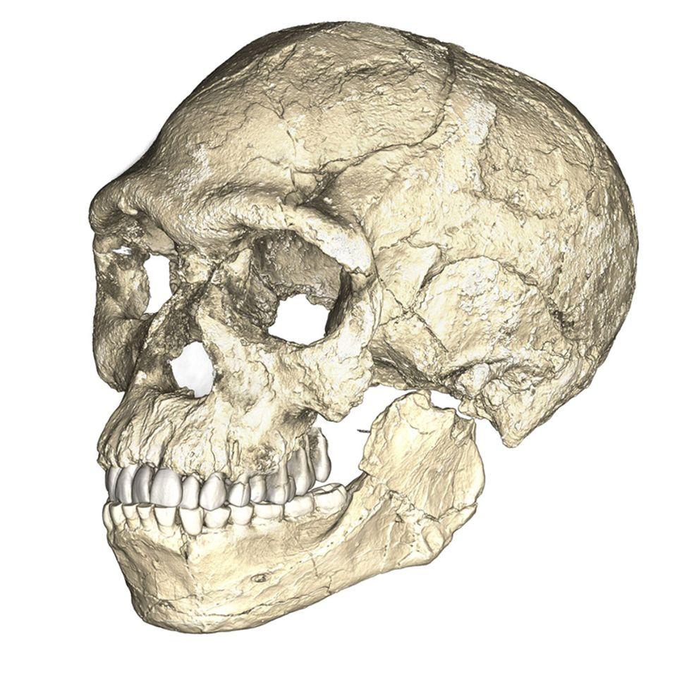 Schädel Homo Sapiens fossil frühester Fund