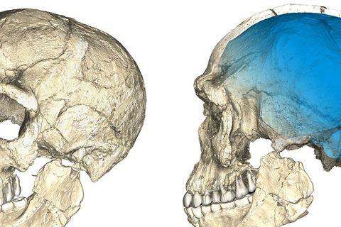 Schädel Homo Sapiens fossil