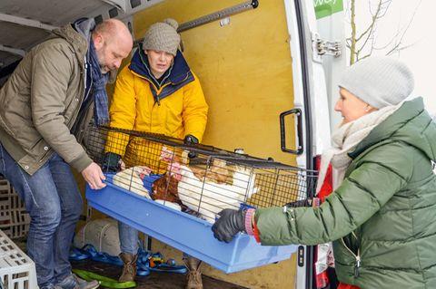 Hühner aus Legehennenbetrieben werden verladen