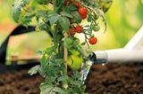 Tomatenpflanzen pflegen