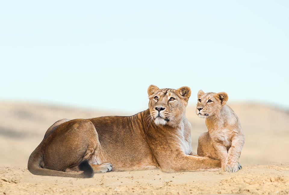 Löwenmutter mit Jungtier