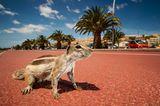 Atlashörnchen, an einer Strandpromenade, Fuerteventura, Spanien