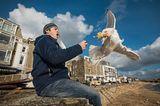 Silbermöwe schnappt Nahrung aus der Hand des Mannes. St. Ives, Cornwall, UK