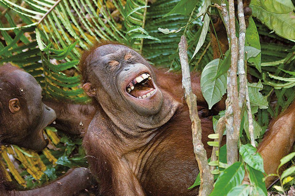 Affen beim Kitzelspiel