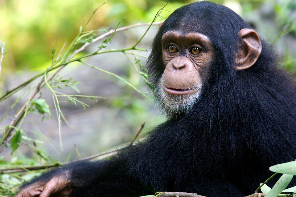 Junger Schimpanse im Wald