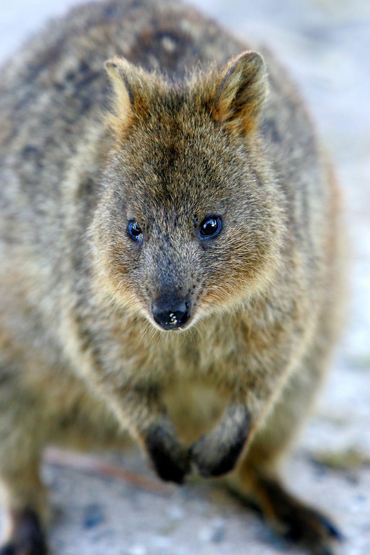 Australisches Quokka