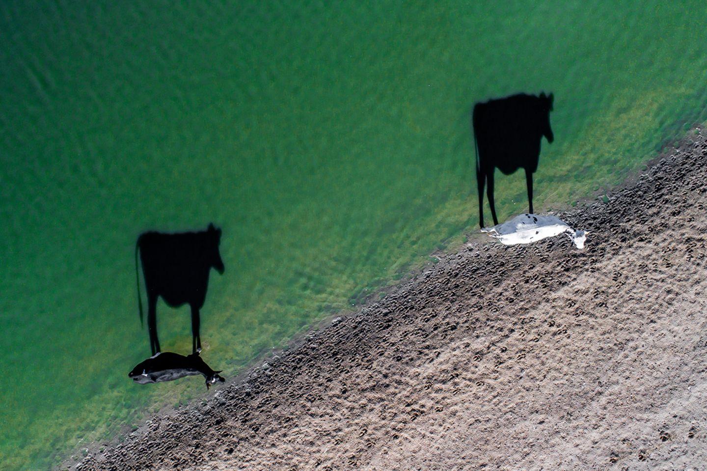 zwei Kühe und deren Schatten