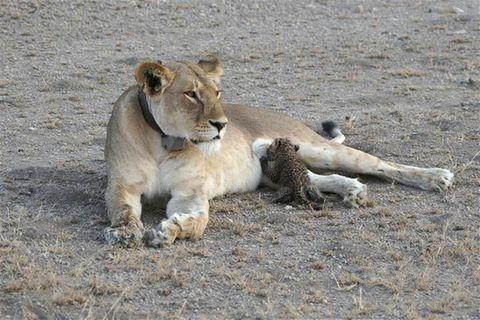 Löwin säugt Leopardenbaby