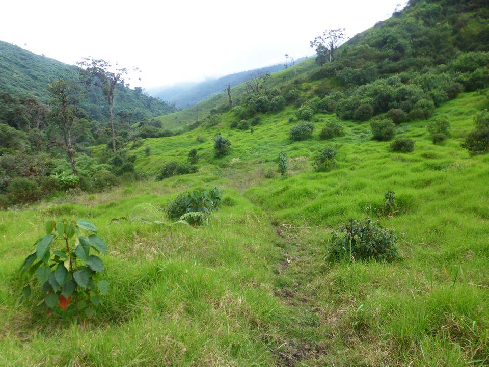 Ecuador: Aufforstungsfläche im Schutzgebiet Cuellaje im Juni 2017 – vorne links im Bild einer der Ende 2015 gepflanzten Drachenblutbäume
