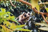 Affen in Kenia
