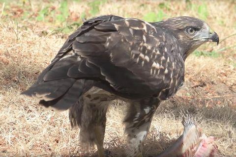 "Ornithologen staunen: Adoptiv-Bussard ""Spunky"" lebt!"