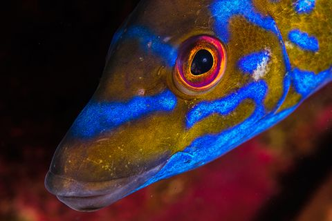 Kuckuckslippfisch