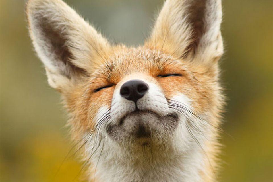 Entspannte Füchse