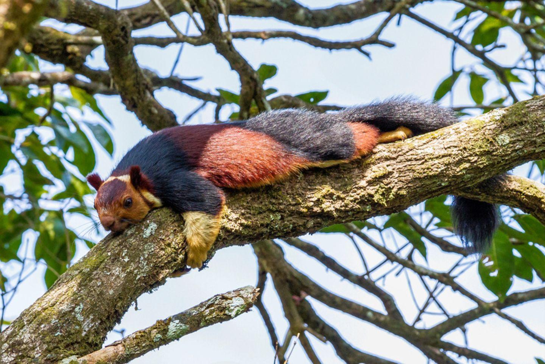 Königsriesenhörnchen in Indien