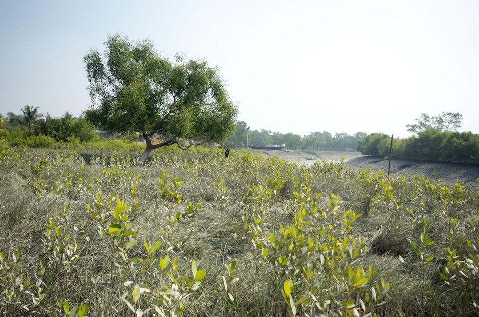 Indien: Mangrovenanpflanzung in Kalitala im Jahr 2015