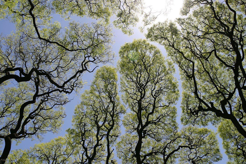 Baumkronen von unten gesehen