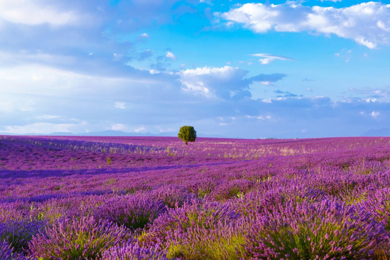 Lavendelfeld, Provence