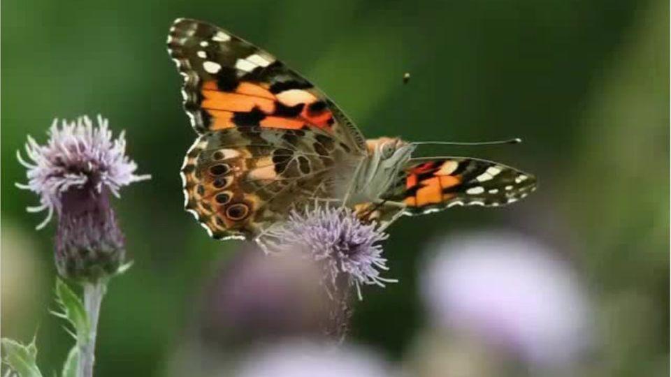 Tiere: So könnt ihr Schmetterlingen helfen