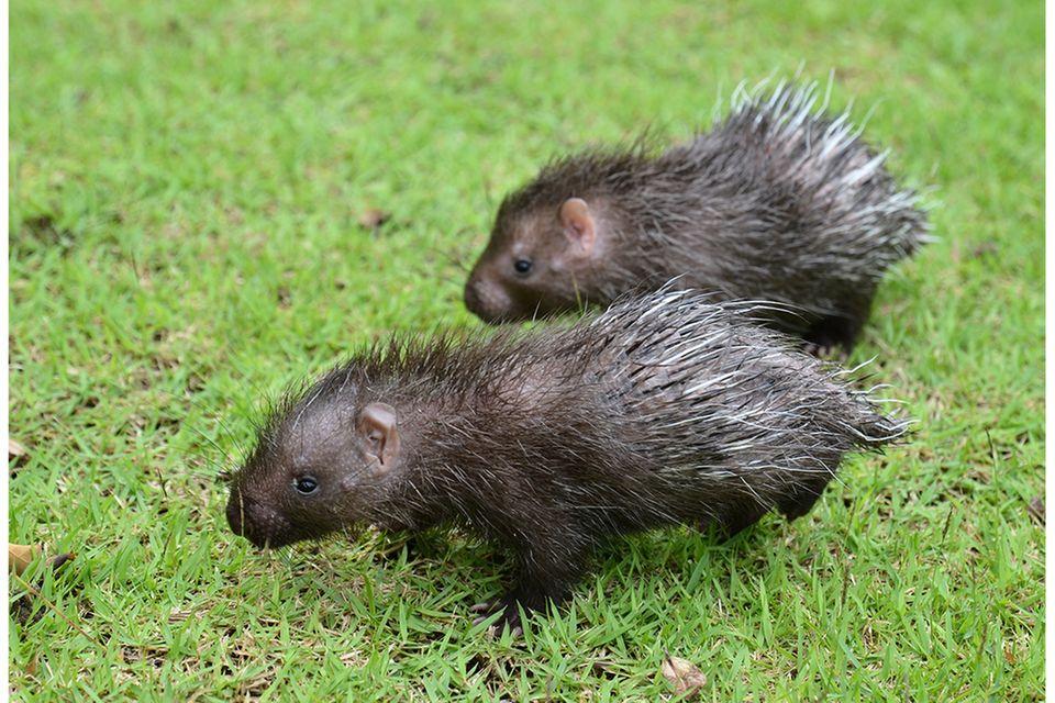 Baby-Stachelschweine