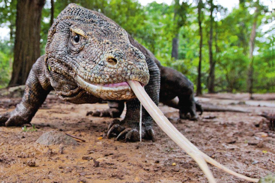 Komodowaran streckt die Zunge heraus