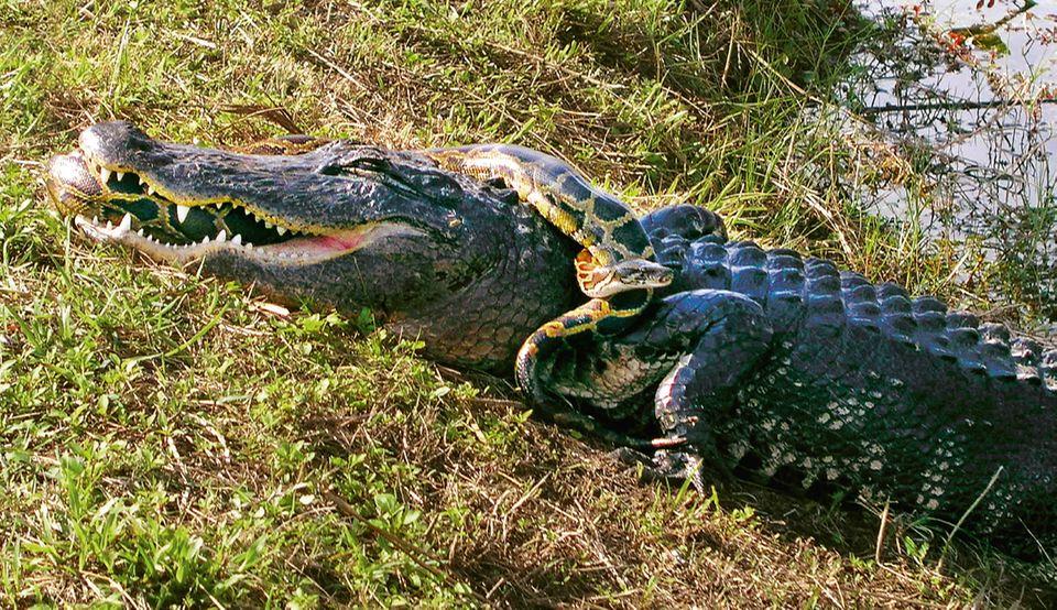 Tigerpython würgt einen Alligator
