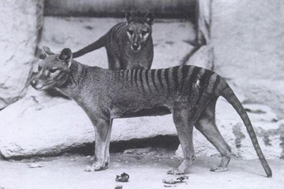 Tasmanischer Tiger
