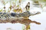 Alligator und Schmetterling