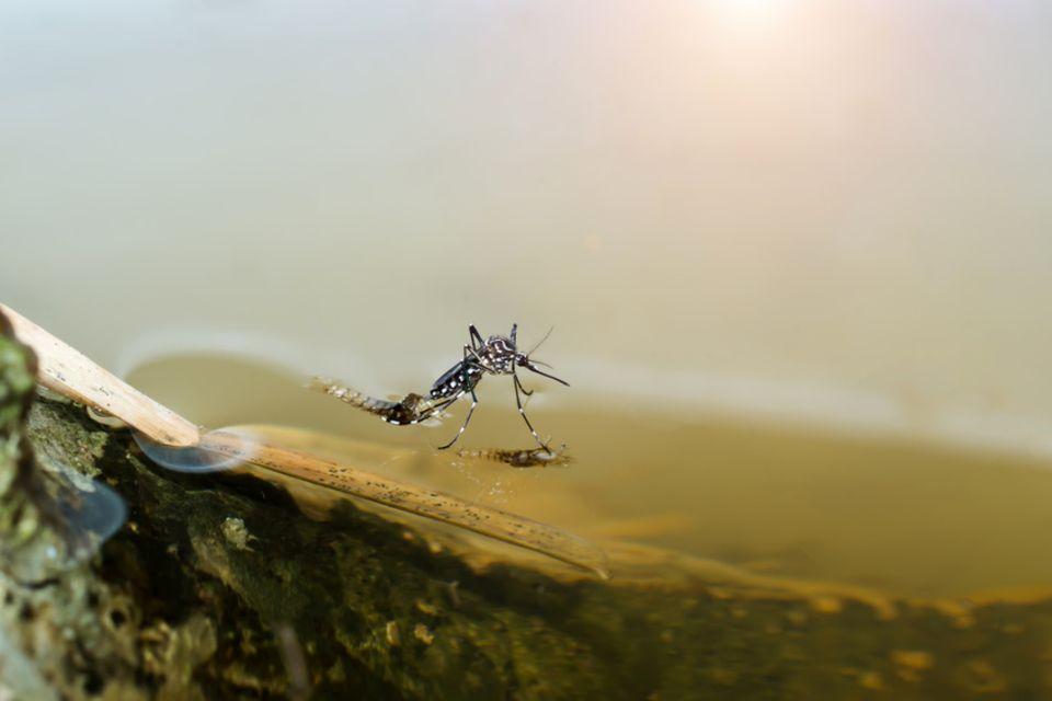 Mücke auf Wasseroberfläche