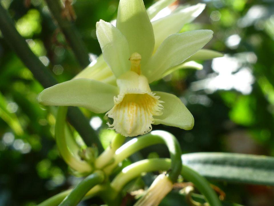 Ecuador: Blüte einer Vanillepflanze