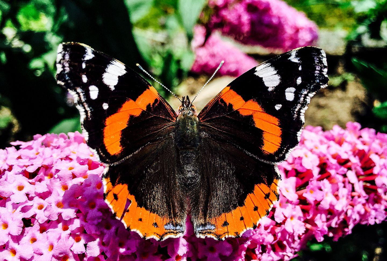 Admiral Schmetterling