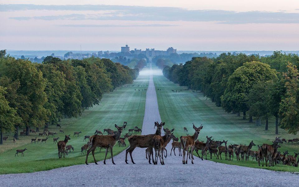 Rehe im Windsor Park