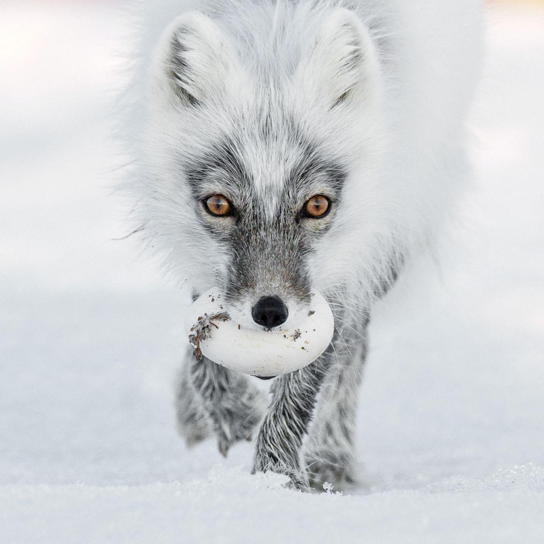 Sergey Gorshkov, Finalist Wildlife Photographer of the Year