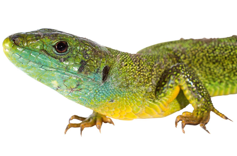 östliche Smaragdeidechse