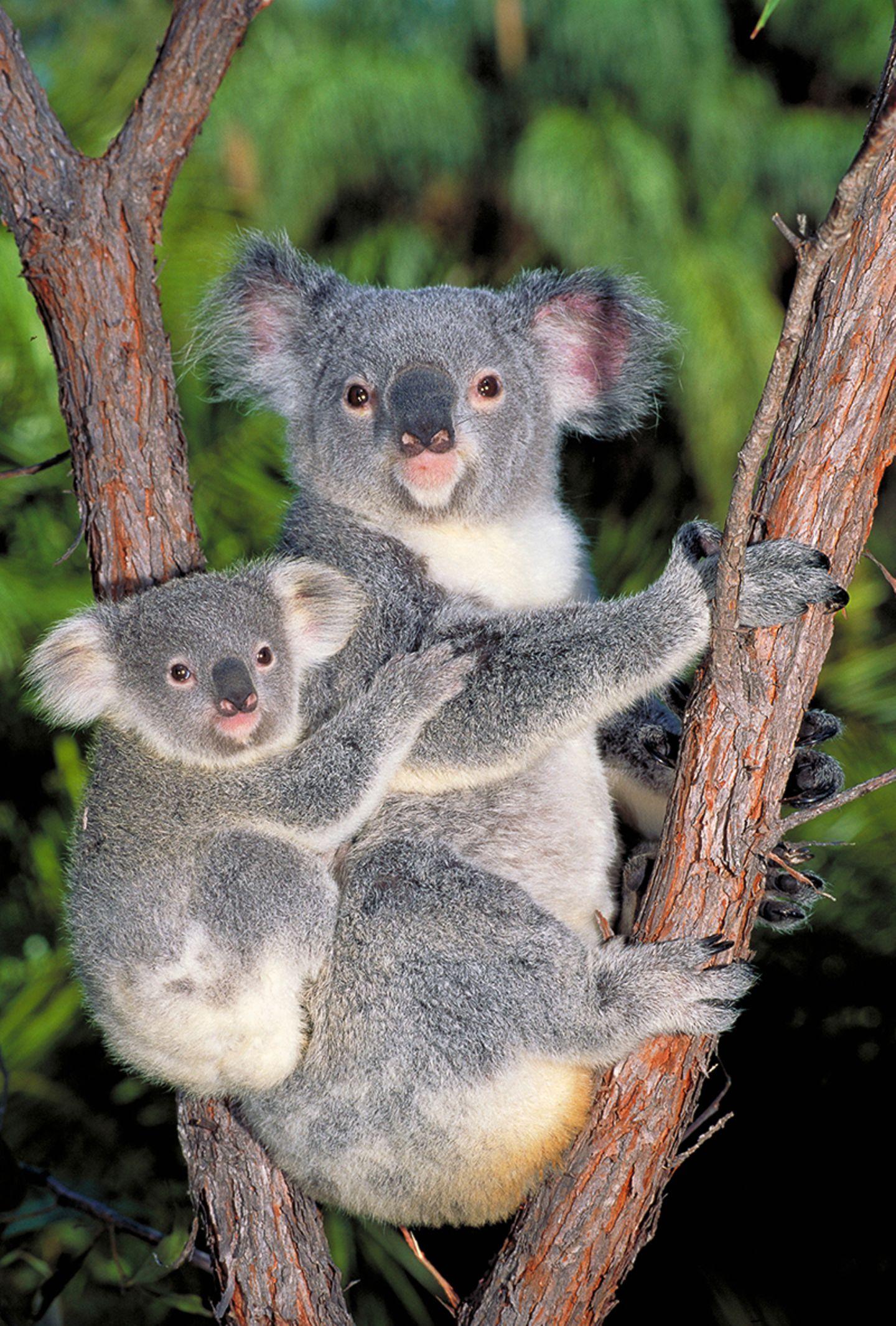 Koalamutter mit Jungtier