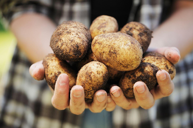 Hände mit Kartoffeln