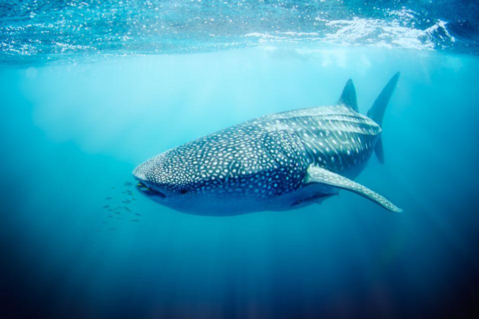 Walhai am Ningaloo Reef